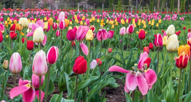 Bunte Tulpen in der Blüte in einem Garten stockfotografie