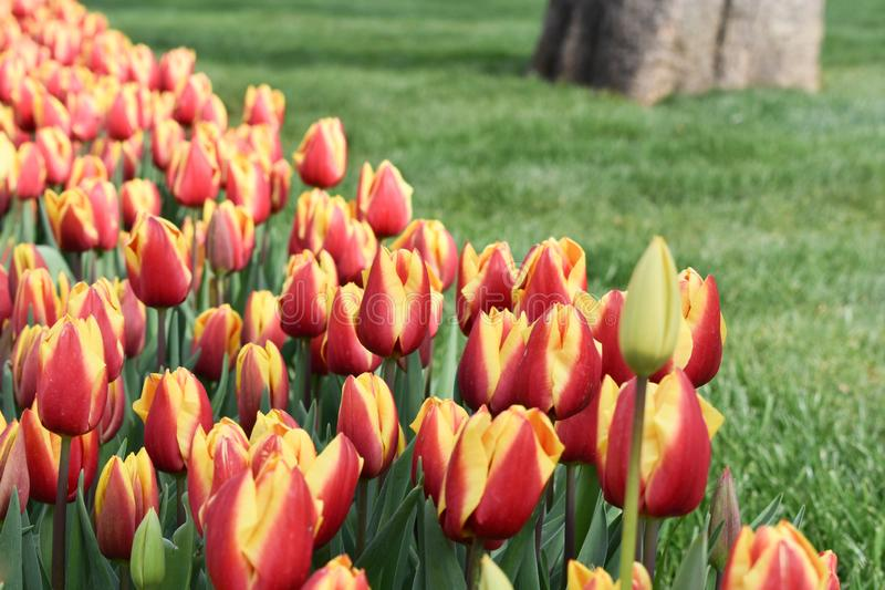 Bunte Tulpen-, Gelbe und Rotetulpe, Tulpenzeit, Frühlingshintergrund stockbild