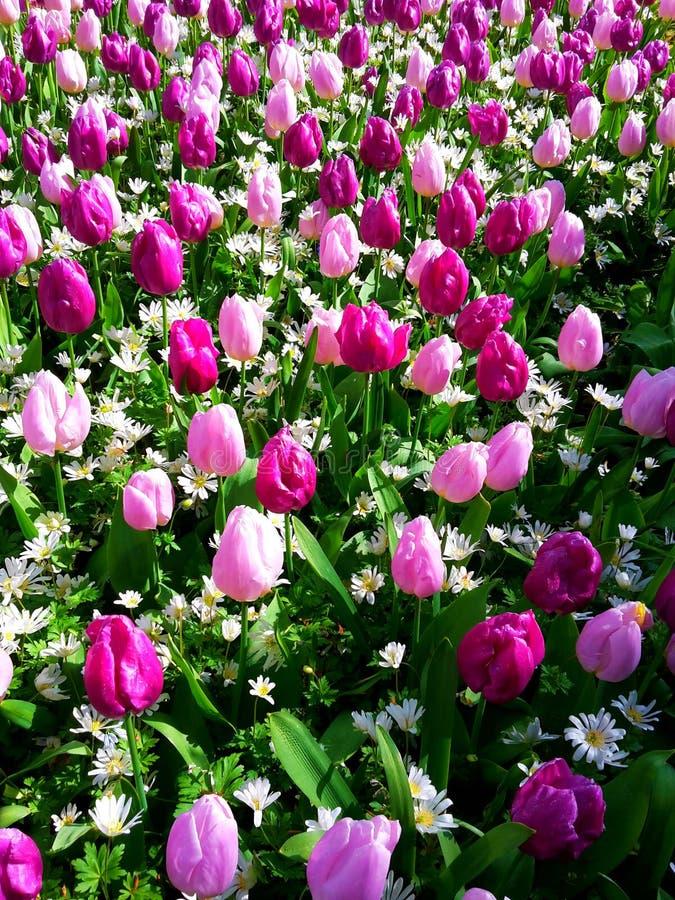 Bunte Tulpen in Keukenhof stockbild