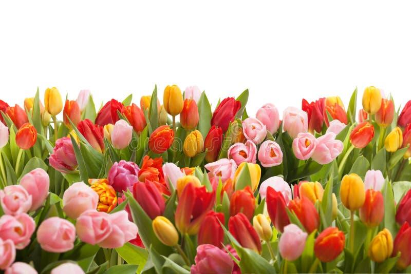 Bunte Tulpen lokalisiert auf weißem Hintergrund lizenzfreies stockbild