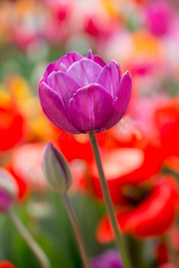Bunte Tulpenblumenblüte im Garten stockbilder