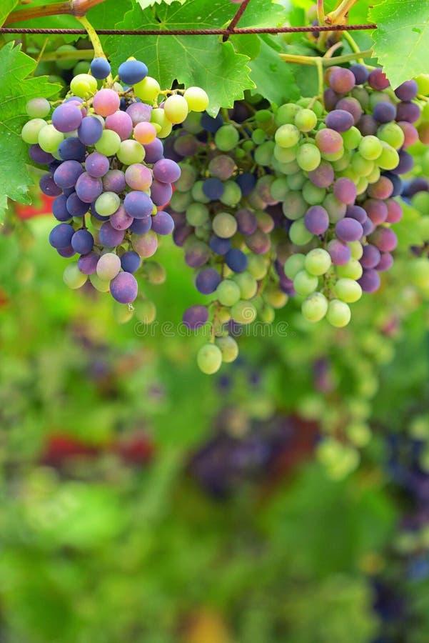 Bunte unausgereifte Trauben und Weinblätter stockbild