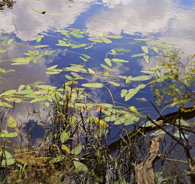Bunte waterplant Blätter und Reflexionen auf Blackwater-Fluss I stockfotos