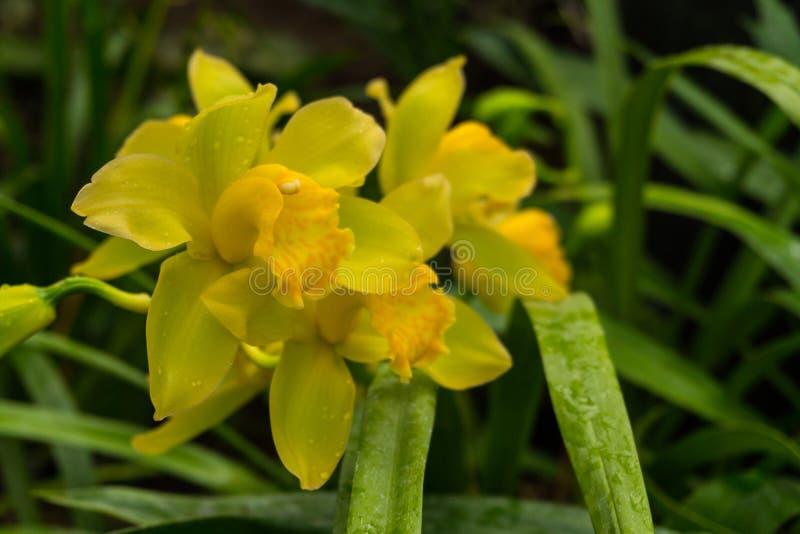 Bunte wilde gelbe Orchideen auf der Niederlassung im tropischen Regenwald lizenzfreie stockfotografie