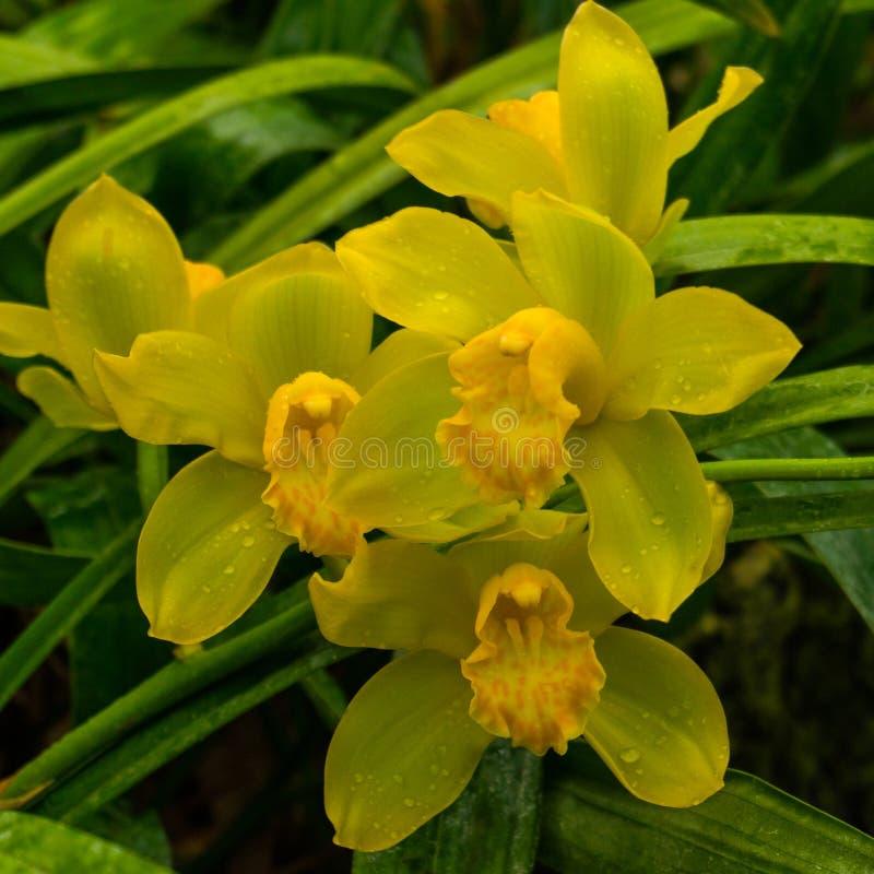 Bunte wilde gelbe Orchideen auf der Niederlassung im tropischen Regenwald stockbilder