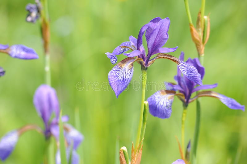 Bunte wilde Iris blüht auf einer grünen Wiese im Frühsommer in Slowakei lizenzfreie stockfotografie