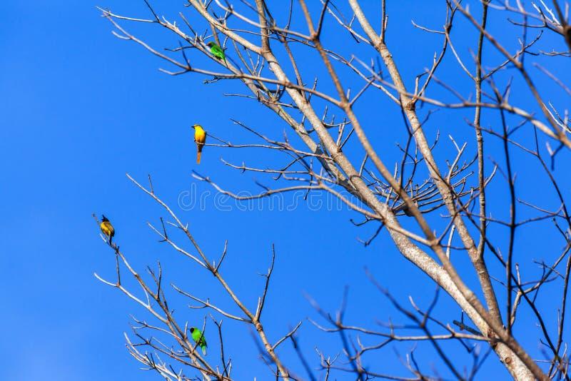 Bunte wilde Vögel hocken auf den bloßen Niederlassungen des wilden Baums lizenzfreies stockfoto