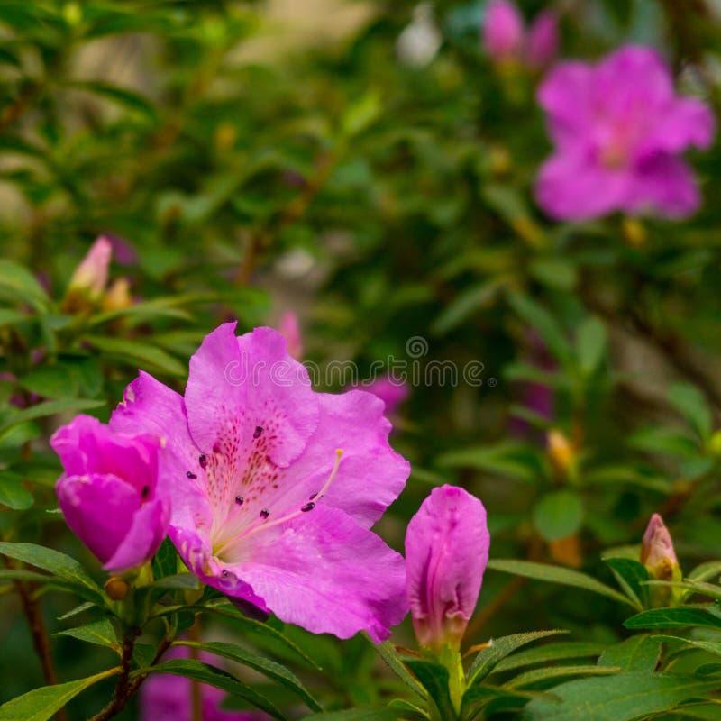 Bunte wildes Rosa-Blumen auf der Niederlassung im tropischen Regenwald lizenzfreies stockbild