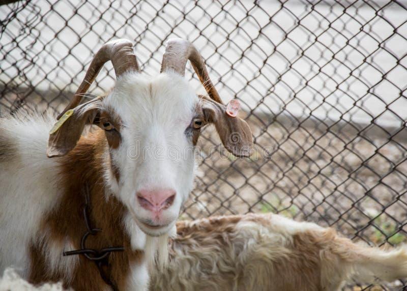 Bunte Ziege, welche die Kamera, Tierporträt im Hinterhof mit Metallzaun hinten betrachtet lizenzfreies stockfoto