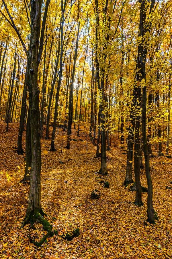 Bunter Autumn In Voderady Beechwood, Czechia stockfotografie