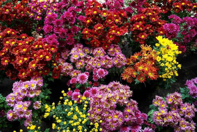 Bunter blühender Gerbera und Chrysanthemen bereit zum Pflanzen stockbilder