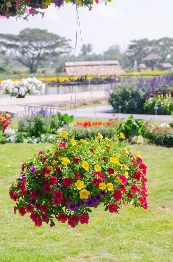 Bunter blühender hängender Korb der Petunienblume im Garten lizenzfreies stockfoto