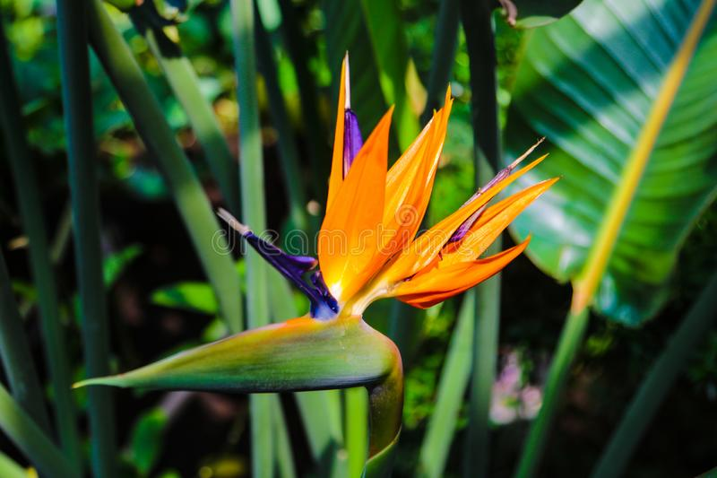 Bunter Blume Paradiesvogel Strelitzia Reginae-Blüte im botanischen Garten lizenzfreie stockfotos