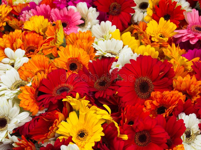 Bunter Blumenstrauß von Sommer Zinnias in Hamalaya stockbilder
