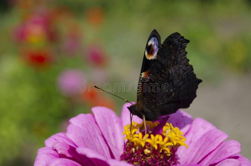 Bunter europäischer Pfauschmetterling Inachis io, Aglais io sitzt auf einer magentaroten Zinniablume mit den geschlossenen Flügel lizenzfreies stockfoto