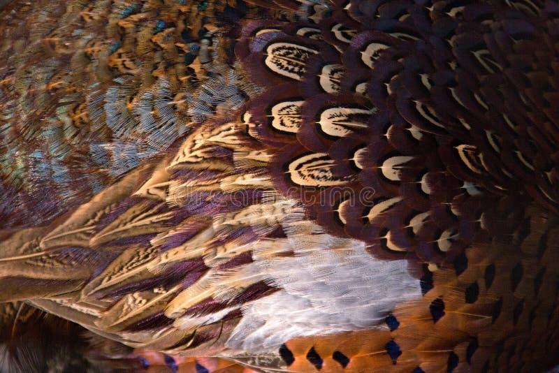 Bunter Fasan versieht Hintergrund mit Federn Abstrakte horizontale Beschaffenheit stockfotografie