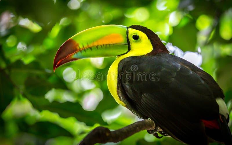Bunter Fischertukanvogel stockfotografie