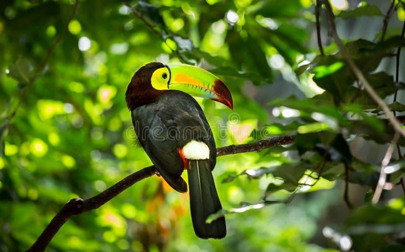 Bunter Fischertukanvogel stockfoto