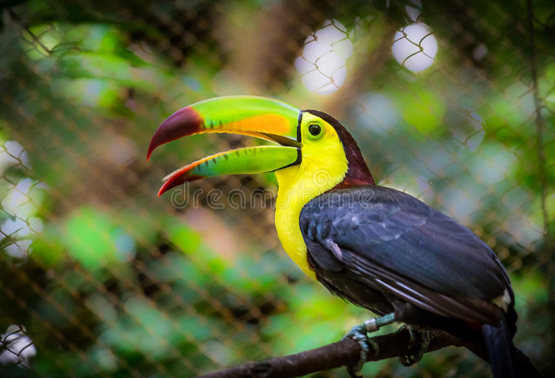 Bunter Fischertukanvogel lizenzfreies stockfoto