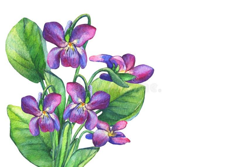 Bunter Frühling blüht wohlriechende Veilchen englische Märzveilchen, Violaodorata vektor abbildung