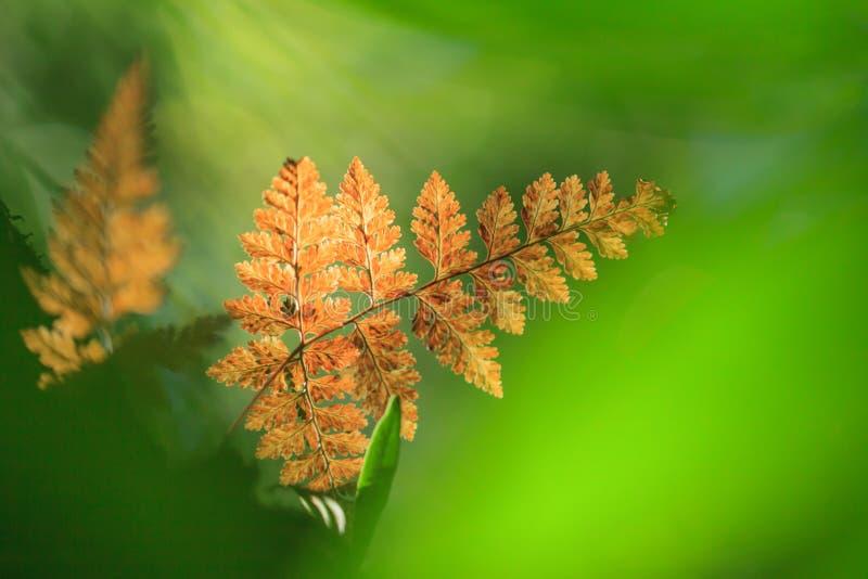 Bunter goldener Farn im natürlichen Scheinwerfer in der Niederlassung des tropischen Baums Neuer grüner Hintergrund Immergrüner W lizenzfreie stockbilder