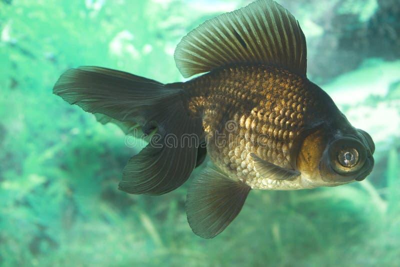 Bunter Goldfish stockbilder