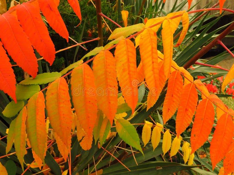 Bunter Herbst Rote, grüne und gelbe Strauchbuschblätter lizenzfreies stockfoto