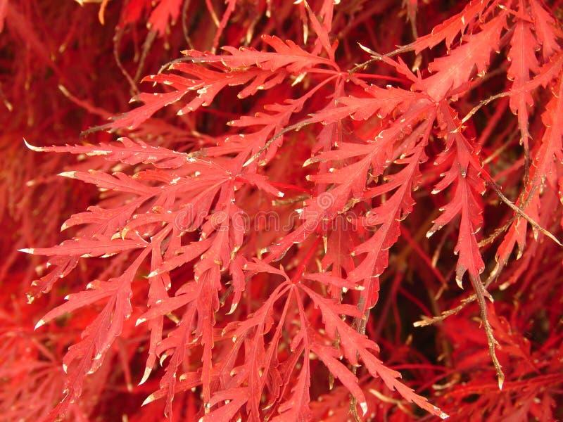 Bunter Herbst Rote Strauchbuschblätter lizenzfreies stockbild