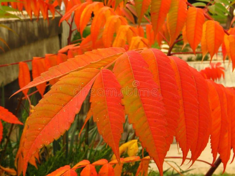 Bunter Herbst Rote Strauchbuschblätter lizenzfreie stockfotos