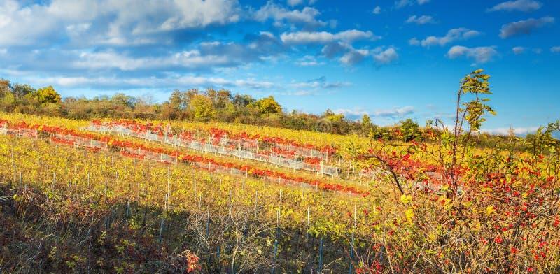 Bunter Herbstweinberg im Karpatenberg, Bratislava, Pezinok, Slowakei stockfotos