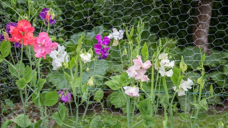 Bunter Lathyrus im Garten stockfoto