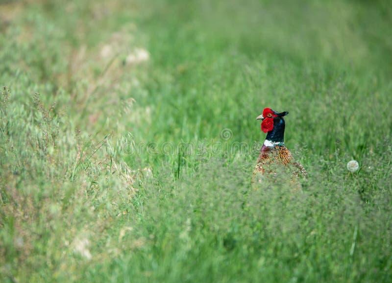 Bunter männlicher Fasan, der aus dem Gras heraus schaut lizenzfreies stockfoto