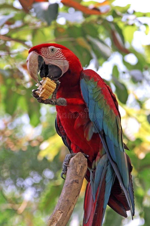 Download Bunter Macawvogel stockbild. Bild von parakeet, baum - 26354305