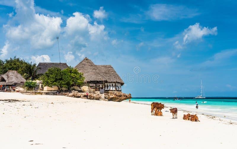 Bunter Meerblick mit afrikanischen Kühen und Hütten auf dem Strand lizenzfreie stockbilder