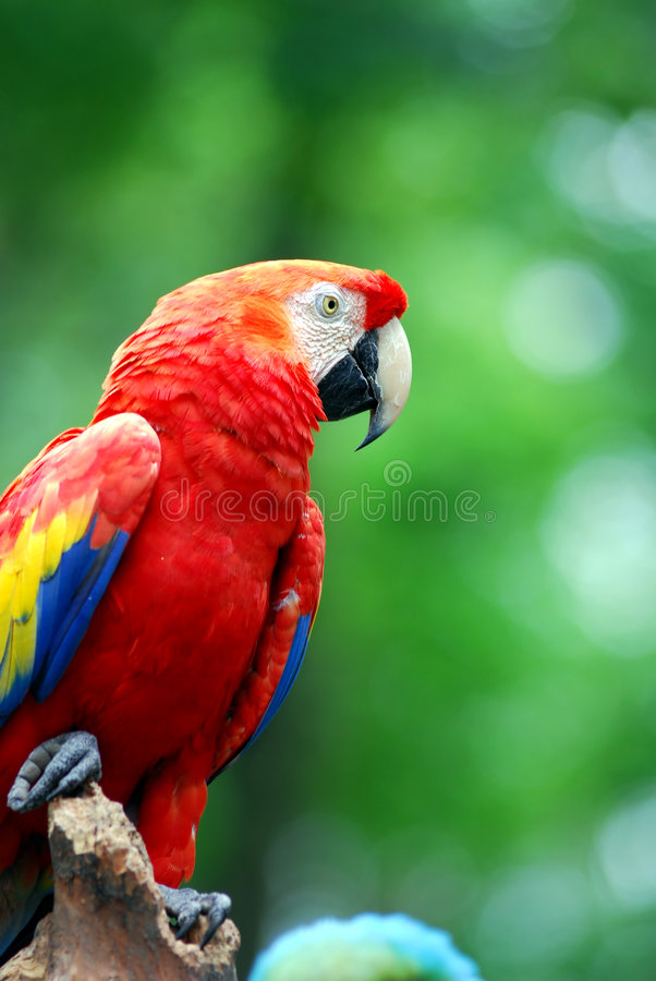 Bunter Papagei lizenzfreie stockfotografie