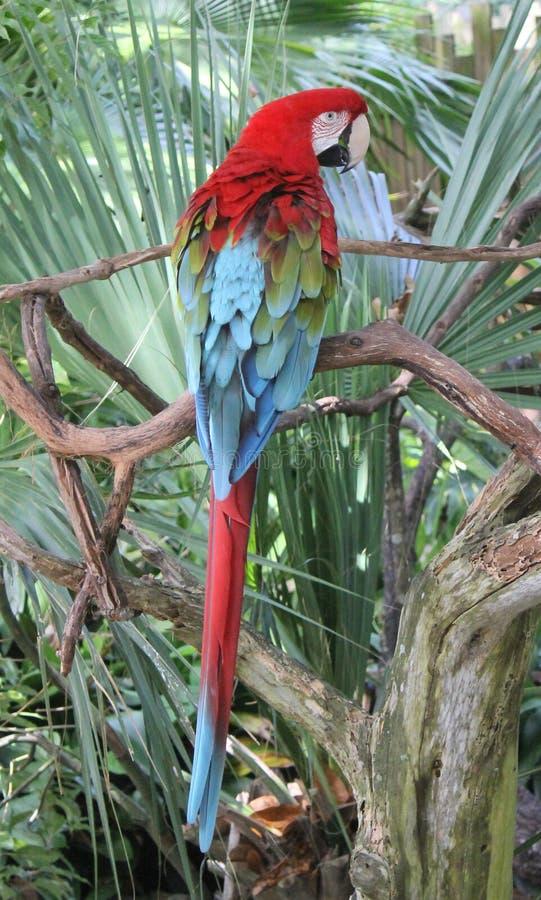 Bunter Papagei gehockt nach Stoffflorida-folliage stockbilder