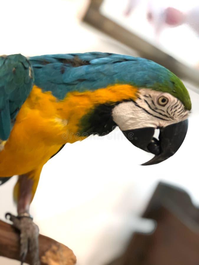 Bunter Papageienkeilschwanzsittich, Ñ- verlieren-oben auf hellem Hintergrund stockbilder