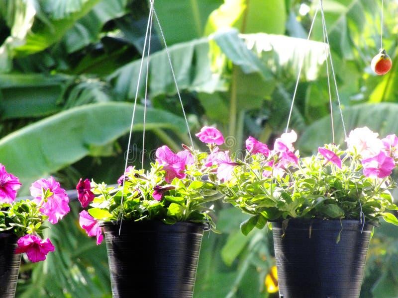 Bunter Petunienfrühling und -sommer in hängenden Blumentöpfen lizenzfreie stockfotos
