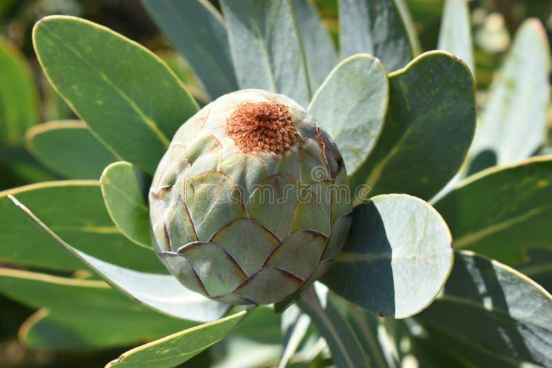 """Bunter rosa König Protea im botanischen Garten in Cape Town in Südafrika-†""""die nationale Blume von Südafrika lizenzfreies stockbild"""