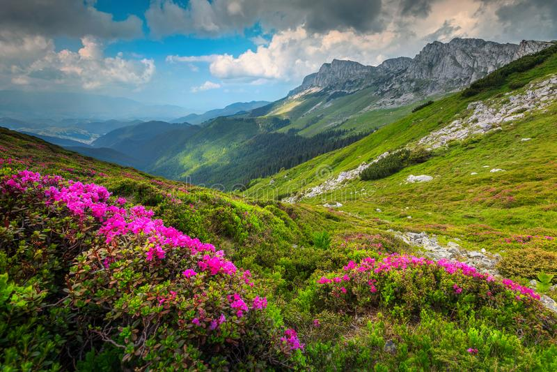 Bunter rosa Rhododendron blüht in den Bergen, Bucegi, Karpaten, Rumänien lizenzfreie stockbilder
