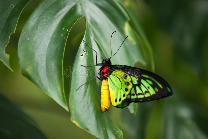 Bunter roter gelber und grüner Schmetterling, der auf einem grünen Blatt sitzt stockfotografie