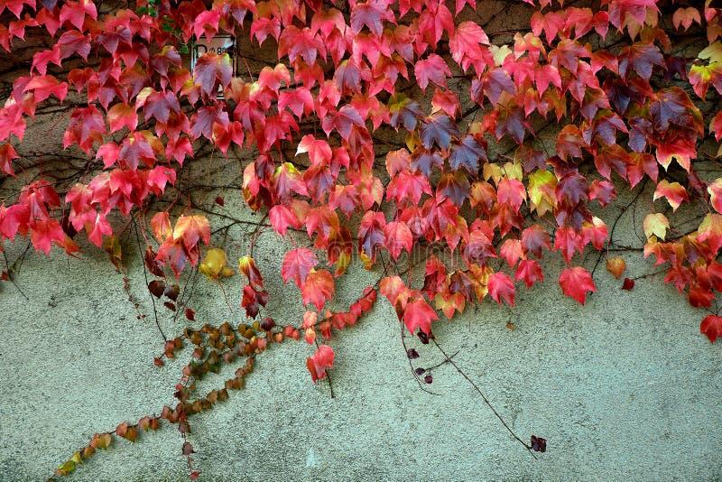 Bunter roter und grüner Efeu auf der Wand im Herbst Nett für Hintergrund oder Beschaffenheit stockfotografie