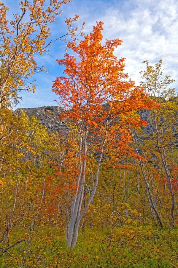 Bunter Rowan Trees im Fall lizenzfreies stockfoto