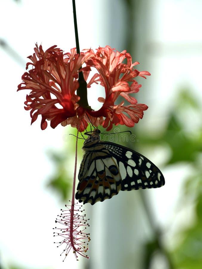 Bunter Schmetterling auf Hibiscus Rosa-sinensis, Hibiscus schizopetalus stockfoto