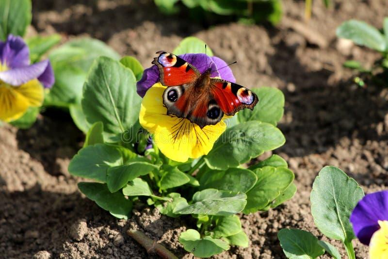 Bunter Schmetterling mit völlig offenen Flügeln auf zweifarbiges wildes Stiefmütterchen oder dreifarbige kleine wilde Blumen der  lizenzfreies stockbild
