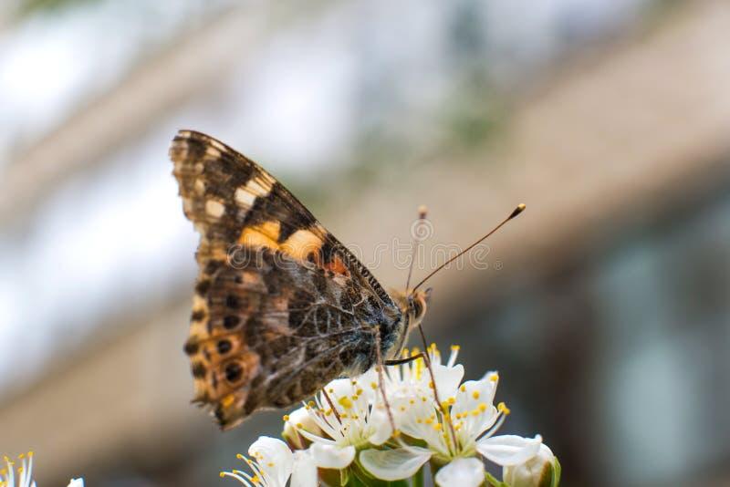 Bunter Schmetterling sammelt Bl?tenstaub von den Kirschbl?ten mit seiner Proboscis stockfoto