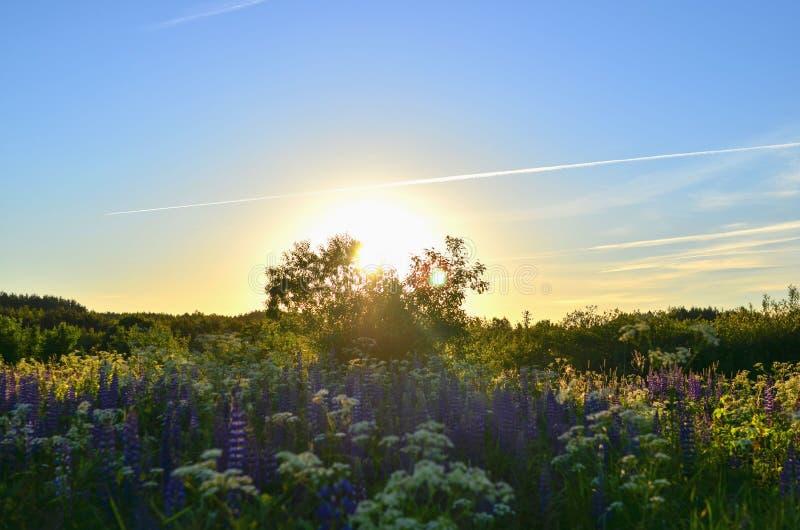 Bunter Sonnenuntergang mit Linse im Licht auf dem Hintergrund des blauen Himmels, Feld mit schönen Blumen lizenzfreies stockfoto