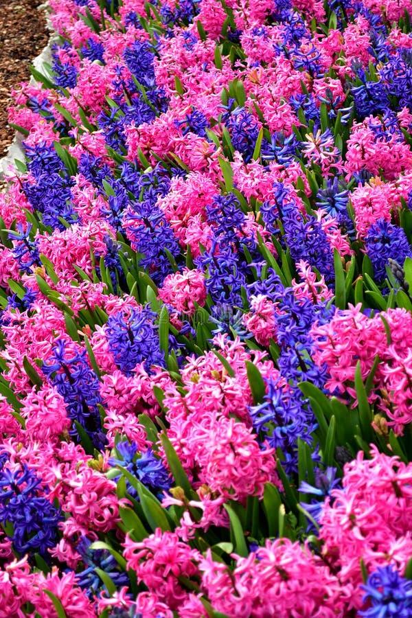 Buntes Blumenfeld mit blauer und rosa Blumenmischung stockbilder