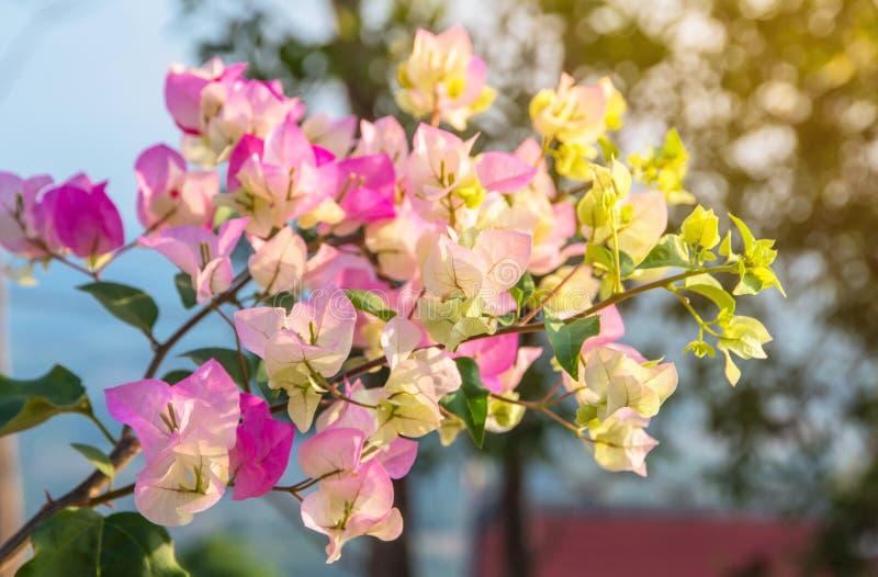 buntes Bouganvilla floweru. x28; tropisches flowers& x29; Blumenfeld schön in der Gartenarbeit des Hintergrundes lizenzfreie stockbilder