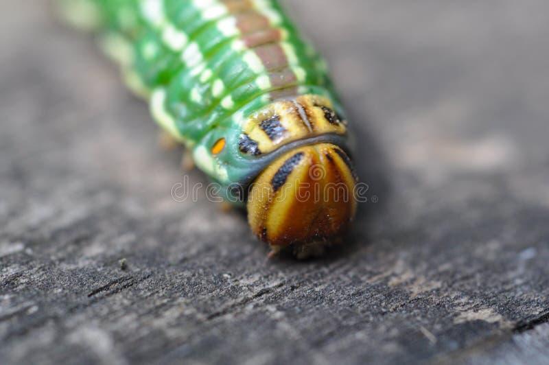 Buntes Caterpillar, das auf rustikales verwittertes Holz kriecht stockbild
